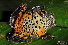 Dendropsophus marmoratus by Renato Gaiga